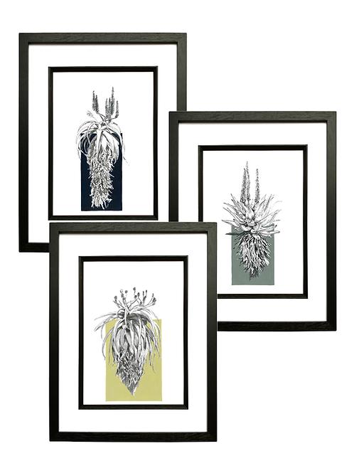 Set of 3 Aloe A4 Prints in Black Box Frame