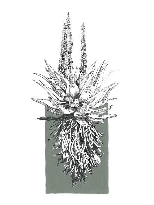 """""""Grey"""" Ferox Aloe A4 (unframed)"""