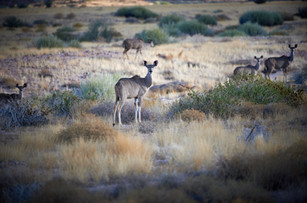 Kudu on Sandfontein