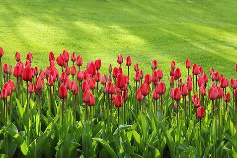 tulips-21620_1280.jpg