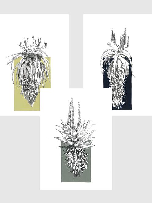 Set of 3 Aloe A4 Prints (unframed)