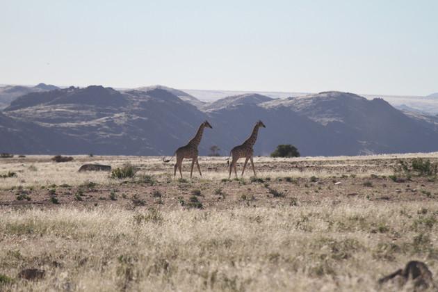Giraffes at Sandfontein