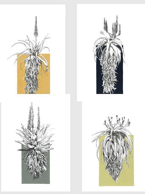 Set of 4 Aloe A4 Prints (unframed)