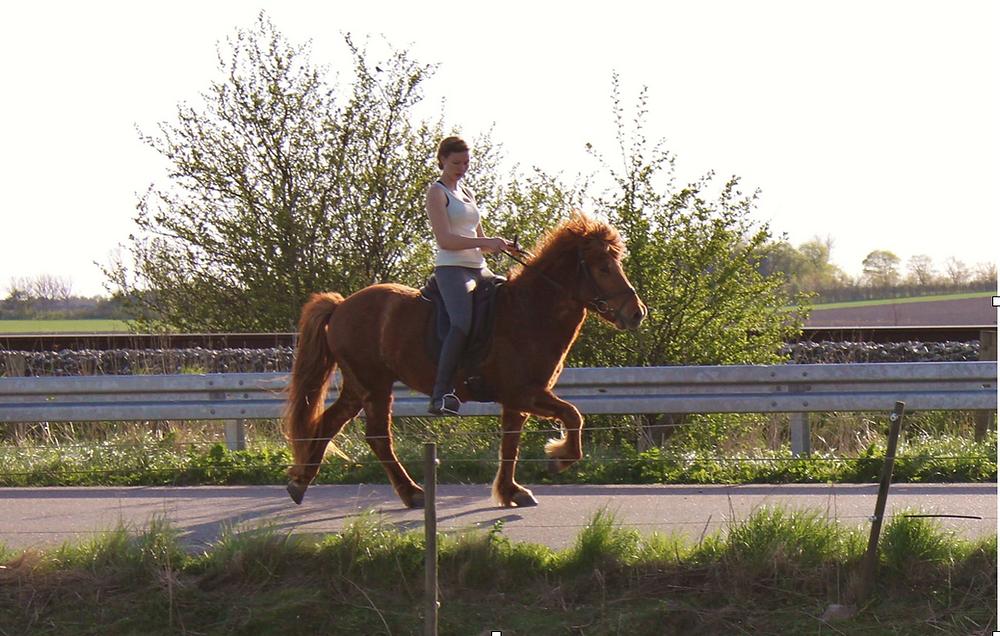 Islandsk hest med rytter