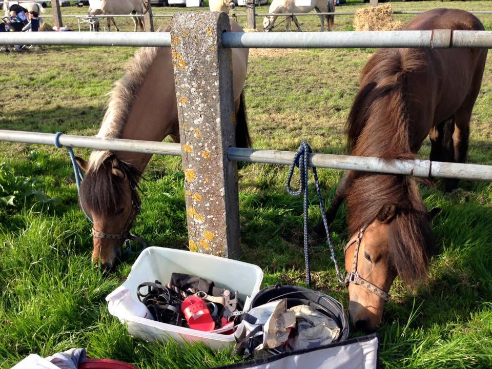 Islandske heste til dyrskue