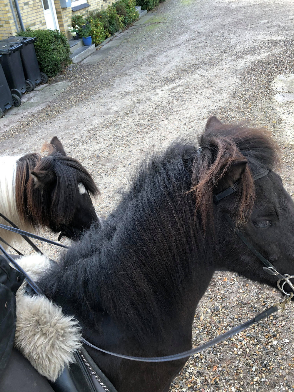 Islandske heste på Island.
