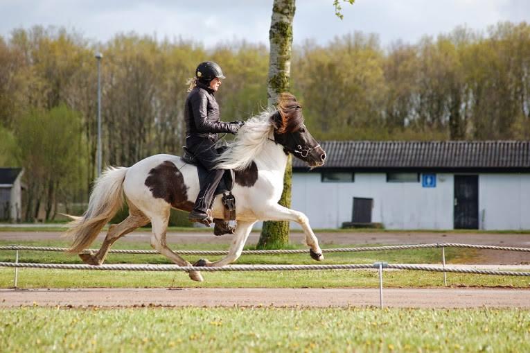 Islandsk hest på kåringsbanen i Herning med Steffi Svendsen i sadlen