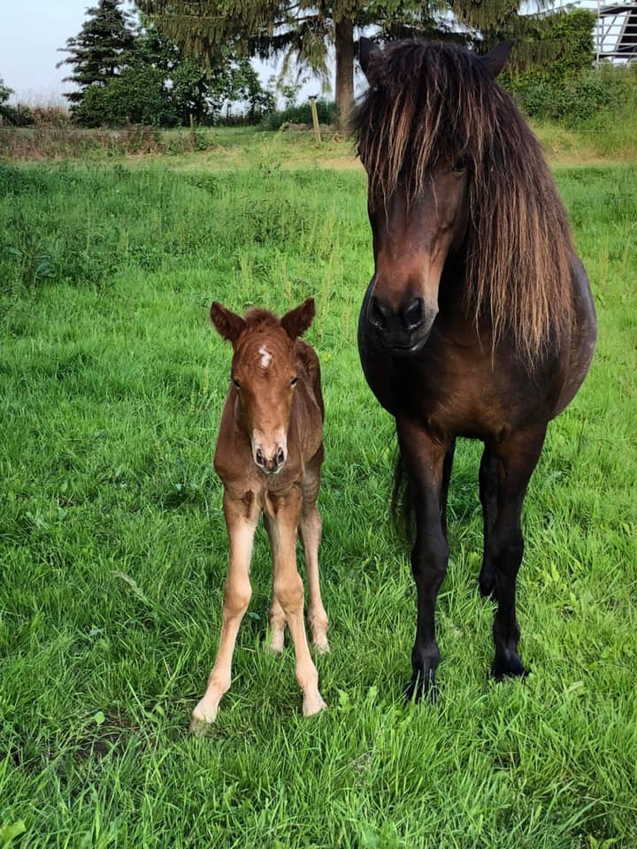 Islandsk hest med føl