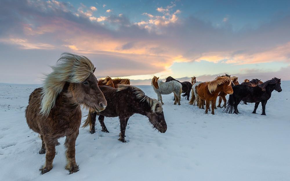 Islandske heste i snevejr