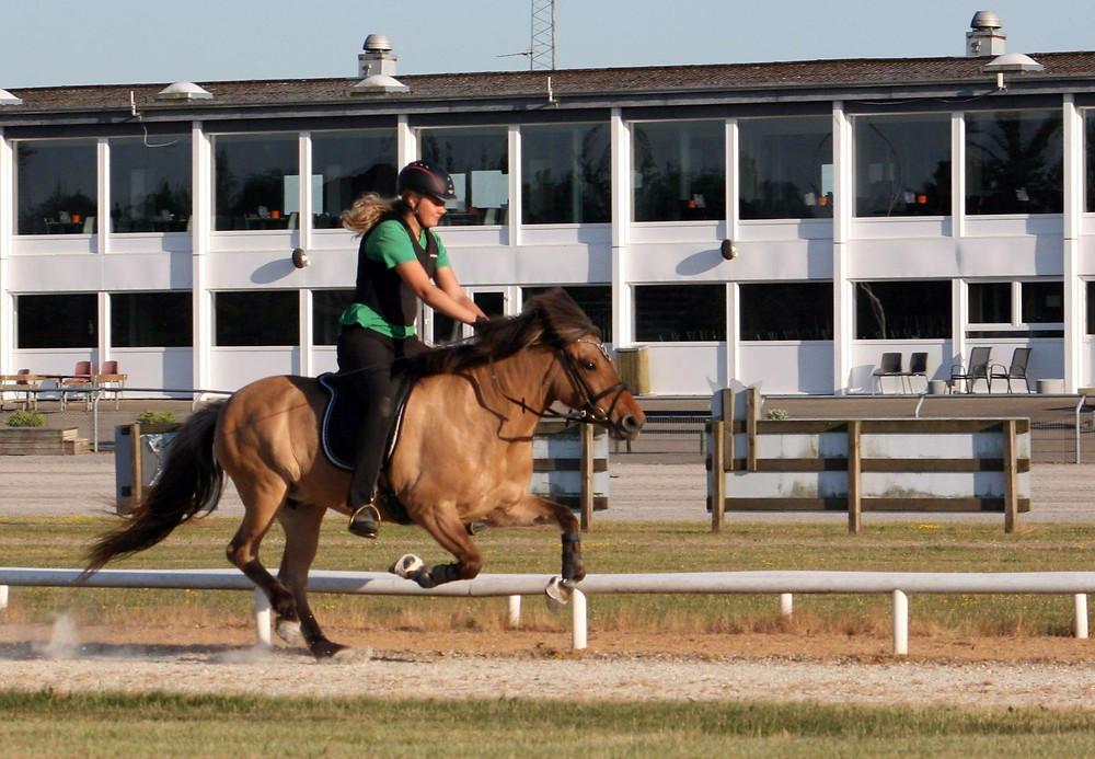 Islandsk hest i galop