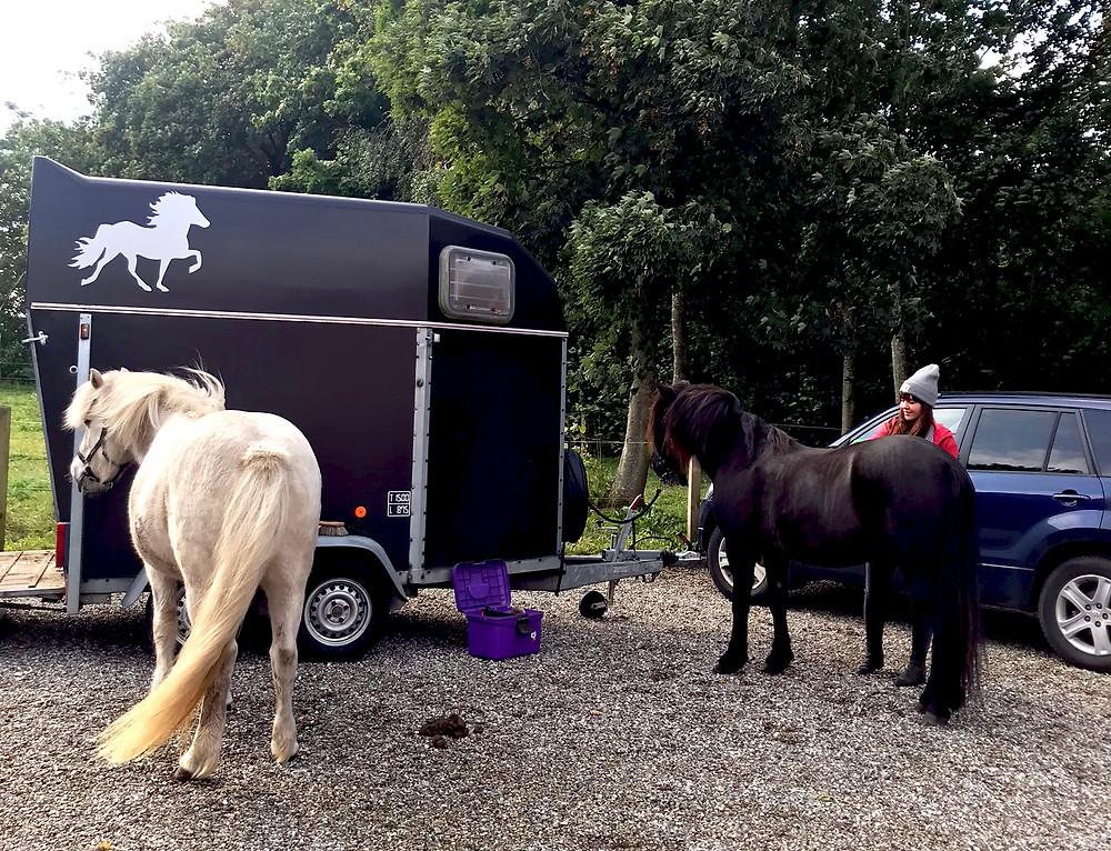 Islandske heste og hestetrailer i naturen.