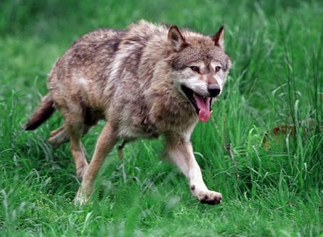 Ulven kommer! Men gør det noget?
