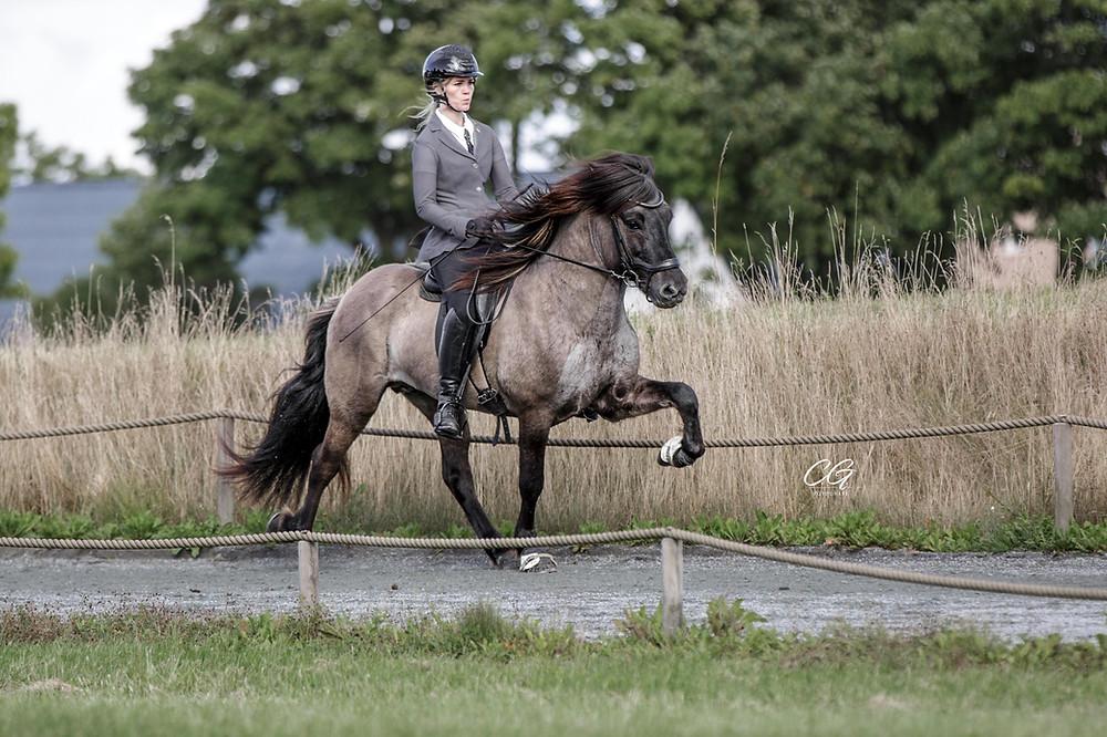 Rytter på islandsk hest i tölt på ovalbanen.