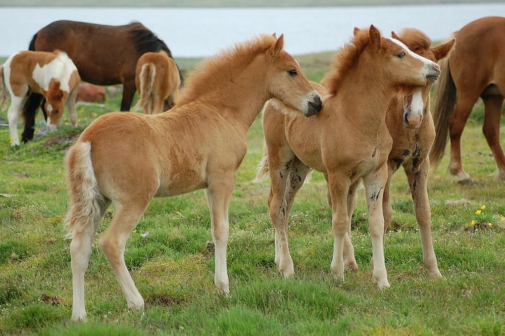 Islandske heste med føl