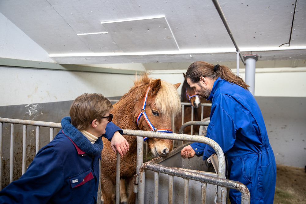 Islandsk hest på fly
