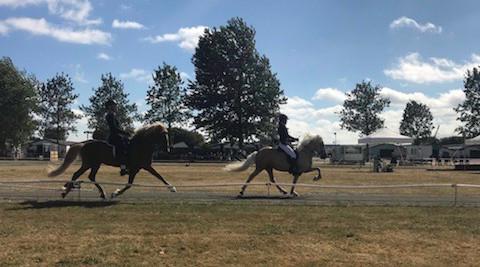 Islandske heste på en ovalbane