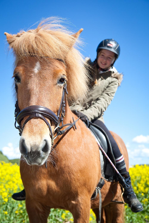 Islandsk hest.
