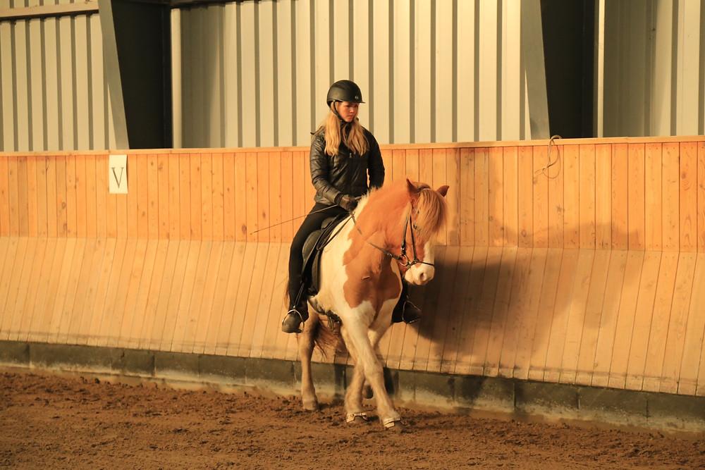 Renversade på islandsk hest.