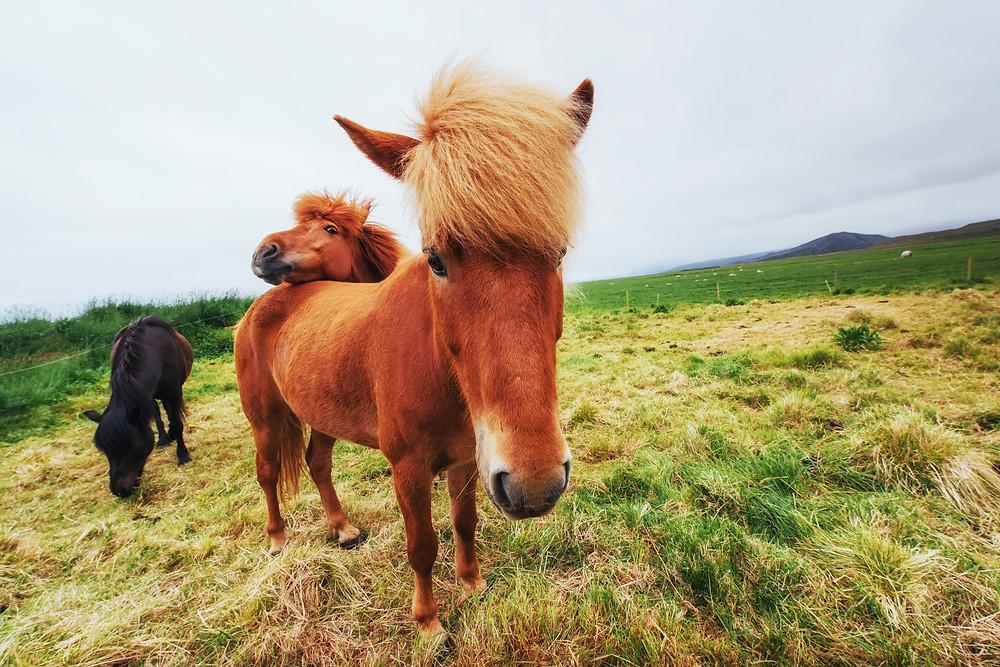 Islandske heste på græs