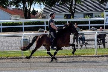 Islandsk hest i pas