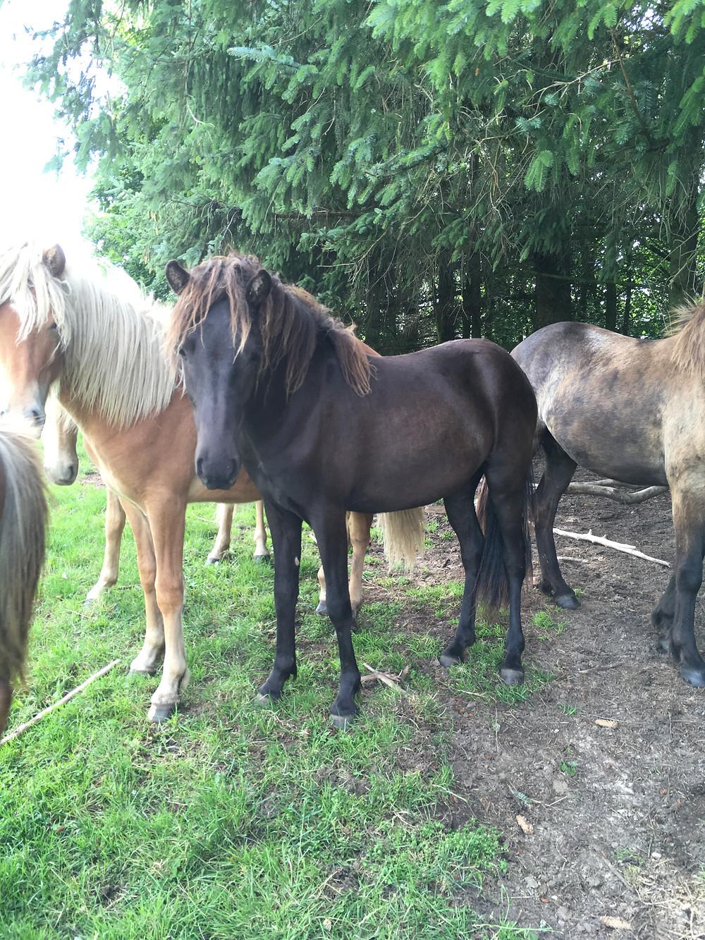 Ung islandsk hest