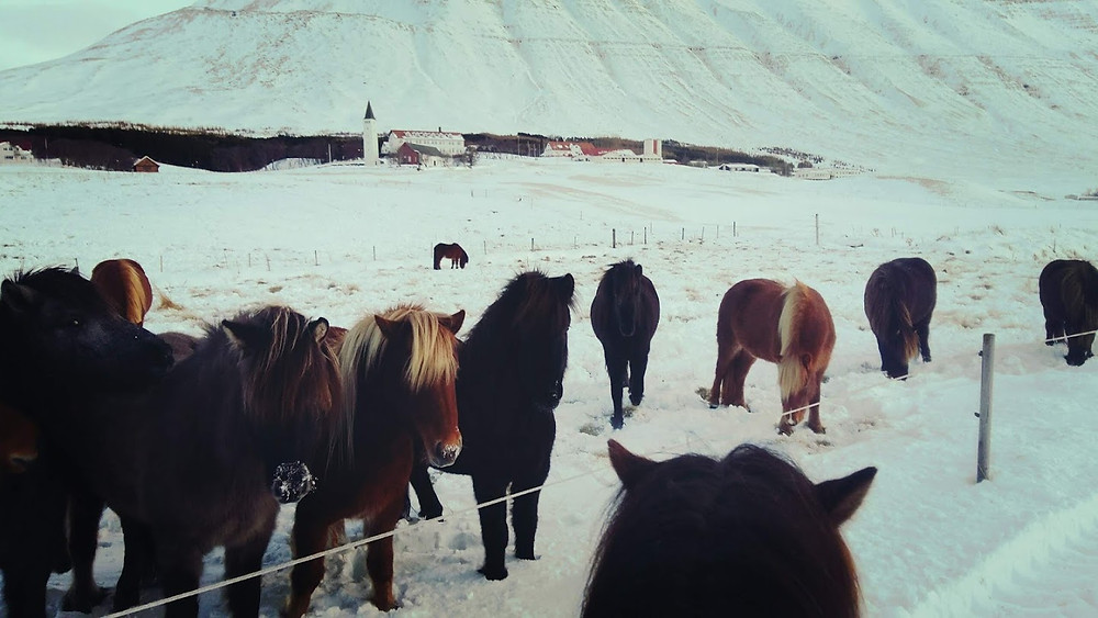 Islandske heste med Hólar i baggrunden