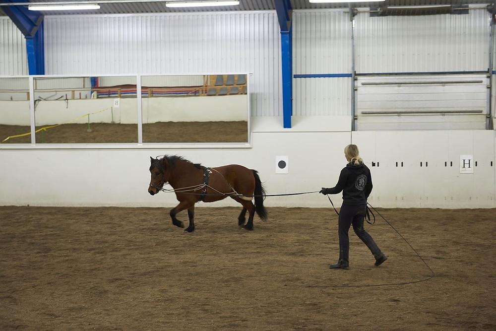Islandsk hest i longe på Hólar.