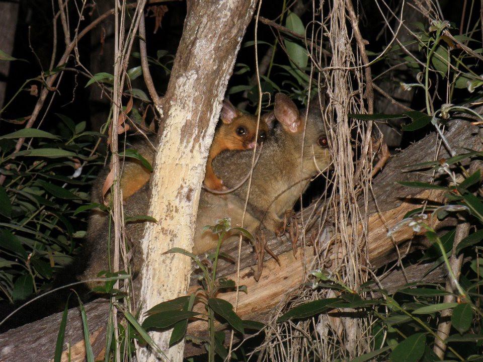 Brush-tailed Possum (Trichosurus vulpecula)