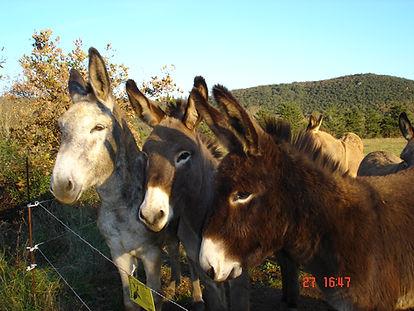 randonnée âne en cévennes