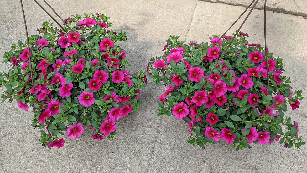 """Matching pair of 10"""" annual hanging baskets"""