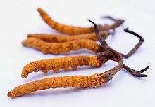 DONG CHONG CAO Cordyceps dongtrunghathao