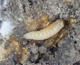 Root Maggots in Canola