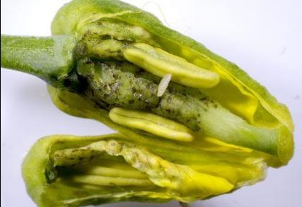 """New"" Insect: Canola Flower Midge"
