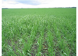 wild oats, herbicide, weed scouting, CropPro, oats