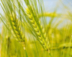228_size_1280x1024_green-wheat-1920-1200