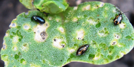 Flea Beetles: Scouting and Management