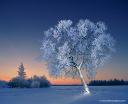 Tree in hoarfrost