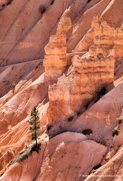 Bryce Canyon, rocks and and pine