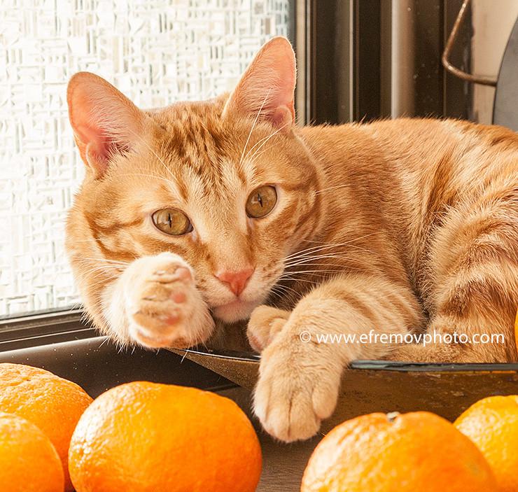 Кот, мандарины, тест
