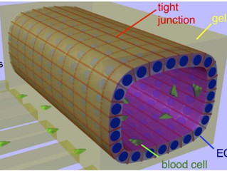 In vitro blood-brain barrier modelling through micro-fluidics