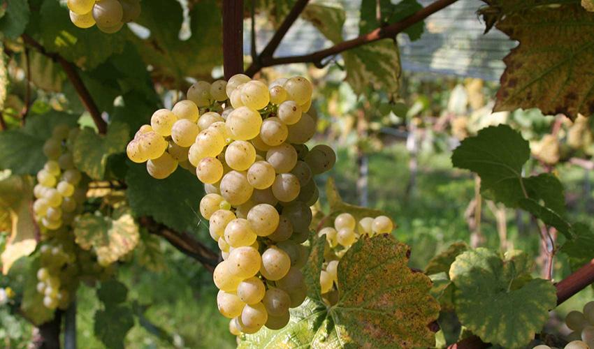 Weingut Stettler Erlach