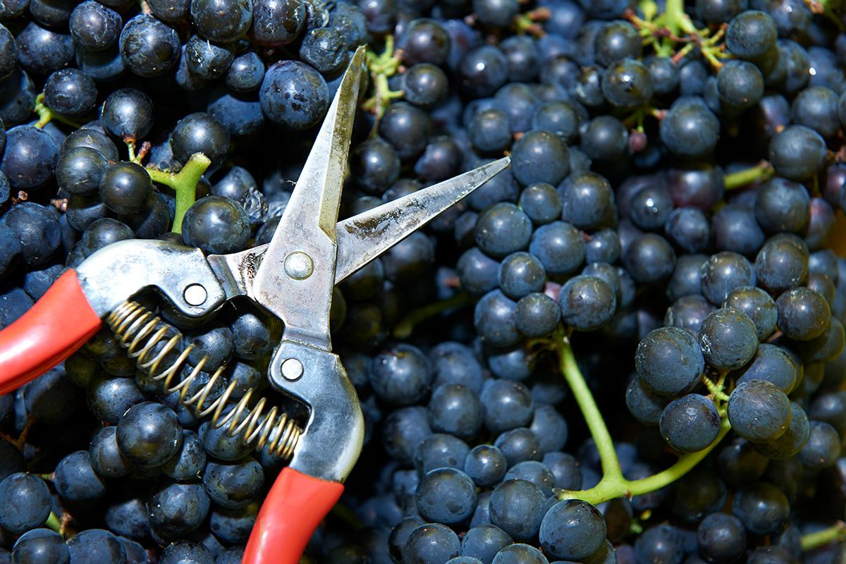 Spiezer Alpine Weinkultur