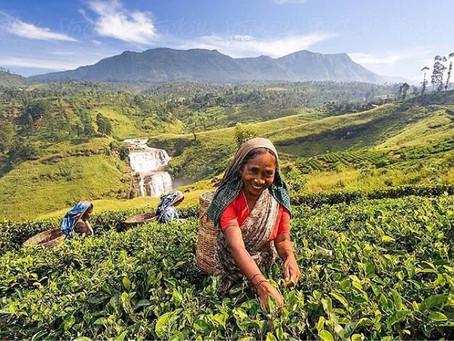 Tea Hub Of Srilanka