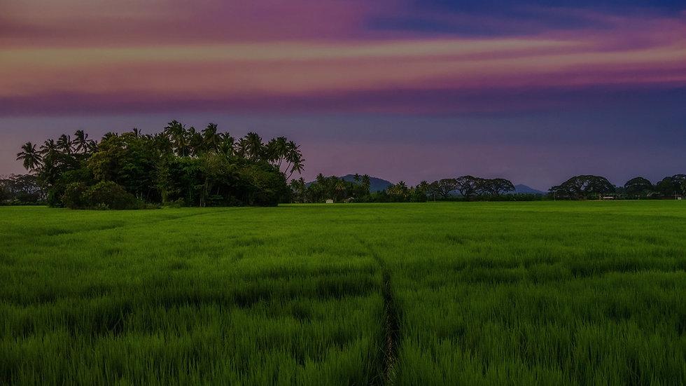 sri-lanka-paddy-field_edited_edited.jpg