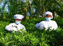 Handunugoda White Tea Factory