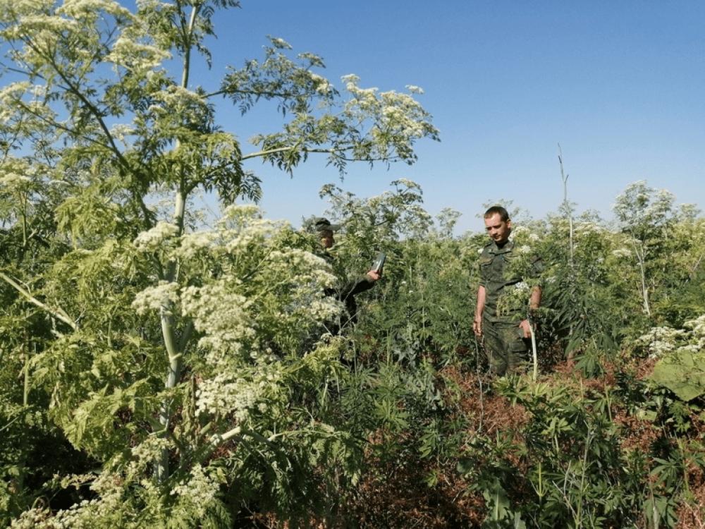 Как бороться с дикорастущий коноплей семена конопли торкают
