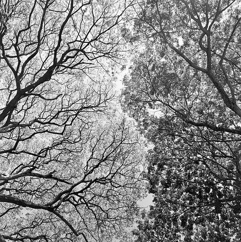 TREES AT MIA HIA T.jpg