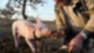 cavage truffes cochon.jpg