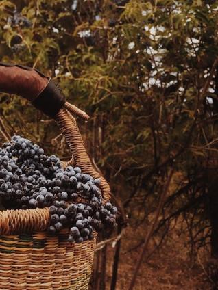 The Benefits of Taking Elderberry