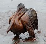 Louisiana-gov-office_oiled-pelican_crop.